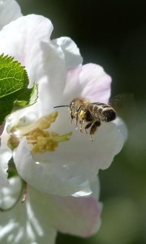 Honigbiene 9 3. Forum ErlebnisReich Bienenstraße