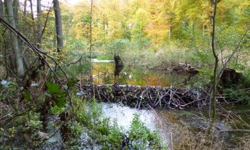 RadebachBiberdamm Wanderung Naturnahe Waldwirtschaft und Landschaftsarchitekt Biber