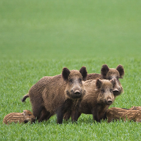 Wildschweine am Wegrand - Copyright: VDN/Conny W.