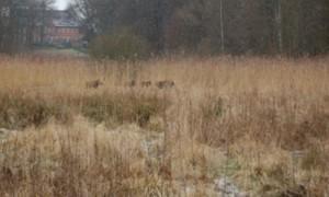 Wildsauen auf der Flucht