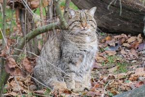 2 Foto 2 Wildkatze Wikipedia Keimzelle 300x200 Natur des Jahres 2018