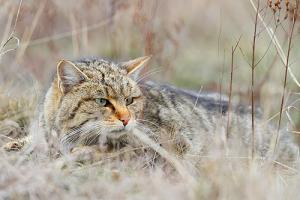 3 Foto 1 Wildkatze Wikipedia Péter Csonka 300x200 Natur des Jahres 2018