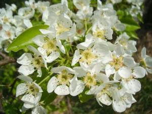 Die Obstbäume stehen schon in voller Blütenpracht - BA Beate Graumann