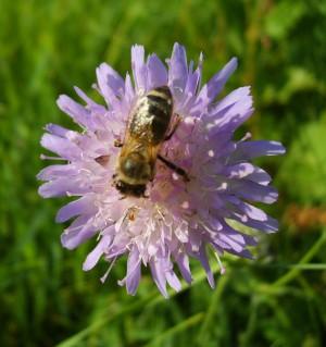 Blühende Wildpflanzen, Sträucher und Bäume sind die Grundlage der Vielfalt an Insektenarten, BA Beate Graumann