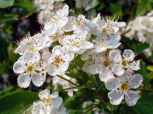 Foto 1 Weißdorn Blüten Wikipedia H Zell 300x225 Der Weißdorn – Arzneipflanze des Jahres 2019
