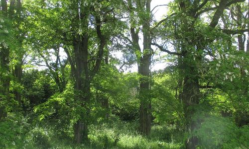 Foto 2 Robinienwald Wikipedia Michael Fiegle B Die Robinie – Baum des Jahres 2020 (Robinia pseudoacacia)