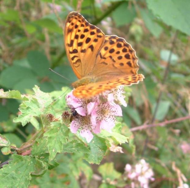 Kaisermantel1 Gr 620x616 Ein Scheck für ein Schmetterlingsparadies