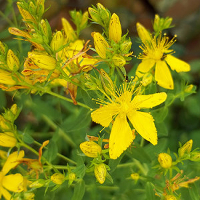 Jetzt im Juli finden wir diese bekannte Heilpflanze auf Wiesen und an Wegrändern, Foto:  conny_wr_pixelio.de