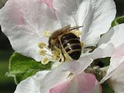 Biene in einer Apfelblüte, BA Marion Zapf