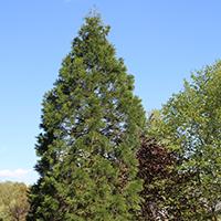 Gartenoase - Sequoiadendron giganteum Mammutbaum / BA Konrad Spindler