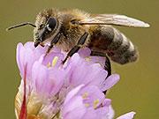 Biene beim Pollensammeln BA; VDN/Max Paternoster und VDN/ Sonja Haase