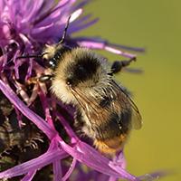 Bunte Hummel auf Skabiosen-Flockenblume // Autor: Ivar Leidus (Wikipedia)