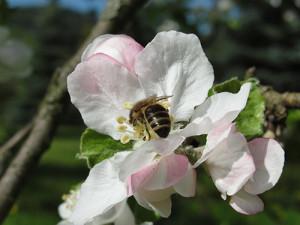 bild23 300x225 Neues Wildbienen  und Schmetterlingsparadies entsteht