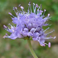 Succisa pratensis, Wikipedia: Fornax