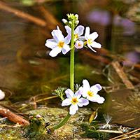 Wasserfeder mit Blütenständen / Wikipedia Frank Liebig
