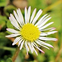 Gänseblümchen, BA Susen Reuter