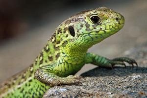 echse1 300x200 Reptil des Jahres 2020