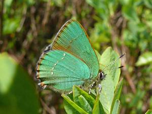 falter1 300x225 Schmetterling des Jahres 2020
