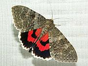 Catocala nupta  // Opuntia – Wikipedia