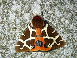 falter11 300x225 Schmetterling des Jahres 2021