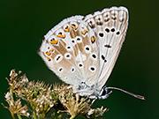 Silbergrüner Bläuling, Wikipedia, L B Tettenborn