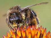 Hummel mit Blütenpollen übersät, BA Kevin Fischer