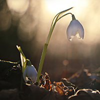 Schneeglöckchen im Morgenrot / Autor: Susen Reuter