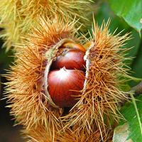 Frucht der Ess-Kastanie / Wikipedia Benjamin Gimmel