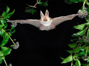 Braunes Langohr: Fledermäuse - scheinbar lautlose Jäger in der Nacht (Foto: Podany&Liebig, VDN)