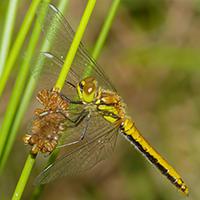 Schwarze Heidelibelle, Weibchen // Wikipedia // Andreas Eichler