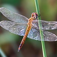 Wanderlibelle // Wikipedia // Rison Thumboor