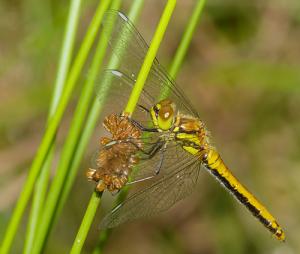 libelle1 300x254 Libelle des Jahres 2019
