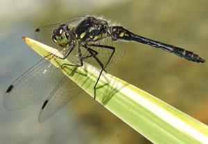 libelle2 300x208 Libelle des Jahres 2019