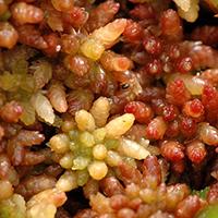 Mittleres Torfmoos (Makroaufnahme) // Wikipedia // Autor: James Linsey