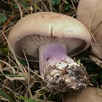 Lilastielige Rötelritterling // Autor: Gerhard Koller (Wikipedia)