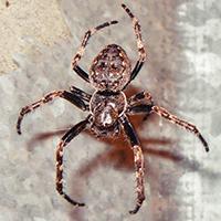 Spaltenkreuzspinne/ Wikipedia Anevrisme