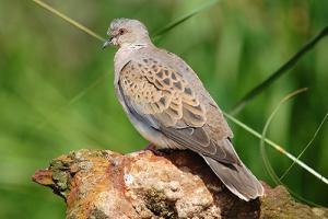 taube1 300x200 Vogel des Jahres 2020