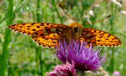 """18 06 11 054a Beitrag """"Zeit für Gaukler"""" – Schmetterlingszeit in Naturparken"""