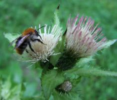 1Blühender Naturpark - Wildbiene © Naturpark Schwäbisch-Fränkischer Wald