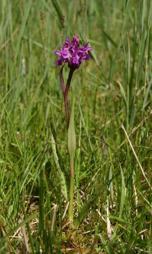 2010 06 22 Ostsee Knabenkraut Dactylorhiza russowii Altes NSG Gützkow Mike Stegemannb 066 Naturpark Flusslandschaft Peenetal