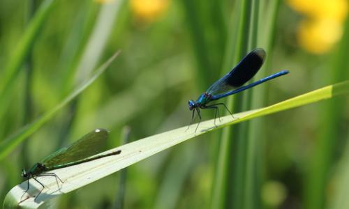 2014 05 23 Gebänderte Prachtlibelle Calopteryx splendens Harris 1782 Pelsiner See Mike Stegemann 4619b Flora und Fauna im Naturpark Flusslandschaft Peenetal