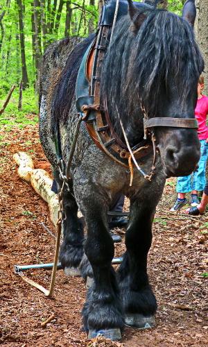 """Arbeitspferde werden auch jetzt noch eingesetzt © VDNChristel Baude """"Richtungsweisend"""" – Bildung für nachhaltige Entwicklung"""