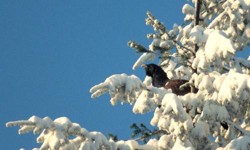 Auerhahn 001 beitrag Unbeschwerter Genuss   Tipps für ein gutes Miteinander von Mensch und Natur im Winter
