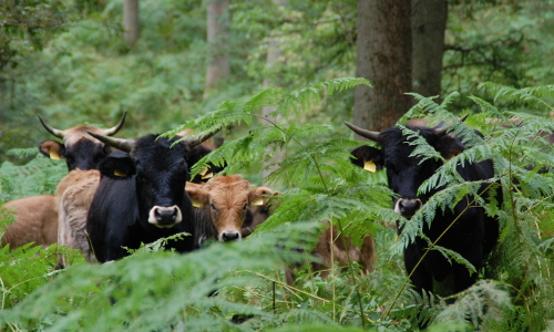 Auero Heckrinder Hutewaldb Naturpark Solling Vogler im Weserbergland