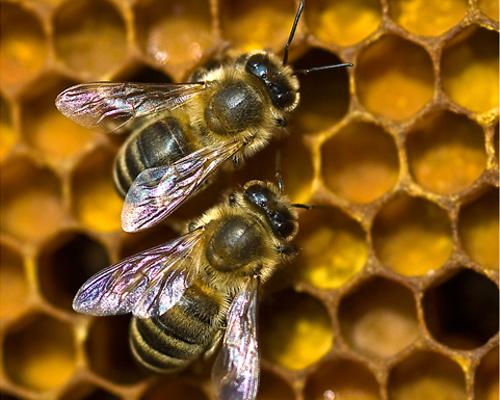 """BienenWabe beitrag """"Dufte Bienen"""" – Bienenschutz in Naturparken"""