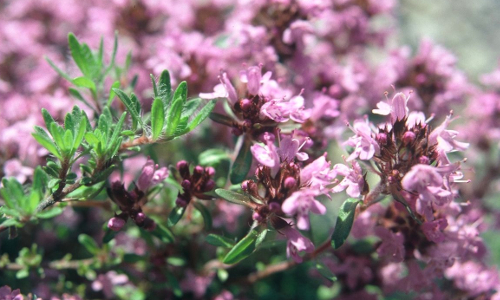 Dörflers Thymianb Blütenfest im Rennsteiggarten Oberhof