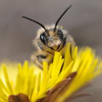 Blattschneiderbiene © VDN/Raimund Knauf