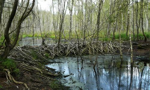 Damm beitrag Gut gebaut   Biber in Naturparken