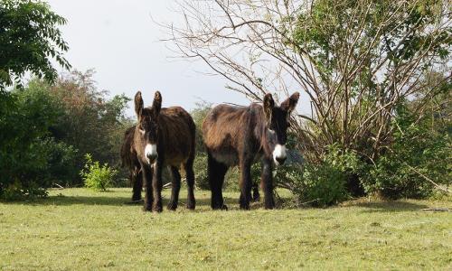 Der Poitou Esel ist die schwerste Eselrasse der Welt Copyright  Arche Warderb Naturpark Westensee