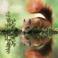 Eichhörnchen - Copyright: VDN/Julian Rad